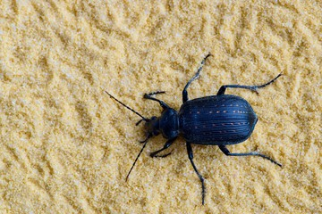 Black Fiery Hunter beetle Callisthenes calidus crawling through lightly colored sand showing off its slightly metallic carapace and red spots.