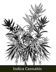 Indica cannabis by hand drawing.Cannabis tree vector graphics design art highly detailed in line art style.