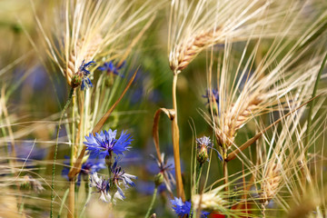 Detail of wheat field with cornflower