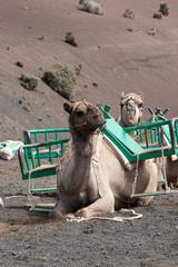 Kamel auf Lanzarote