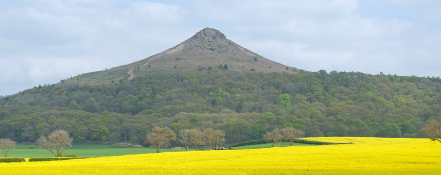 View across a field of gleaming oilseed rape (canola) of the famous Roseberry Topping in the Cleveland Hills, North Yorkshire, England