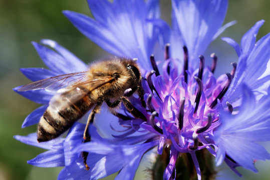 Bee sitting on the blue bachelor button flower