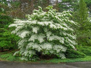 Mature white flowering dogwood tree in full bloom.