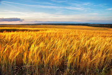 Sunset on the crop field. Belarus, rural countryside.