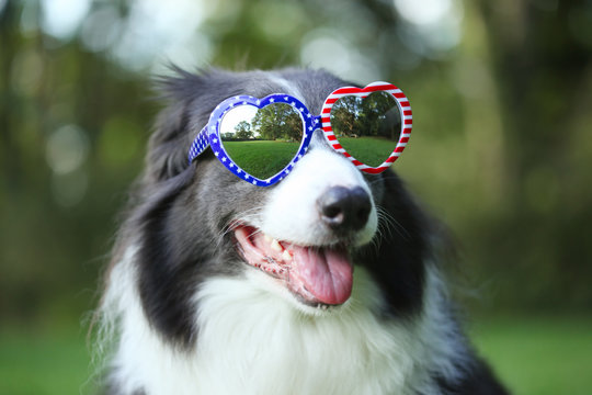 Border collie dog wearing heart shaped American flag sunglasses for 4th of July
