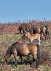 Exmoor Ponies with foal on the moor