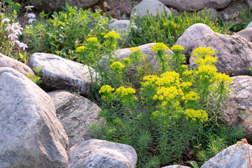 Blooming euphorbia cypress and other flowers in a small rockery in the summer garden