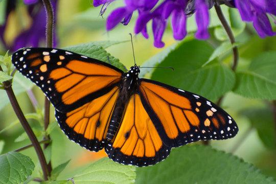 Butterfly 2019-54 / Monarch butterfly (Danaus plexippus)