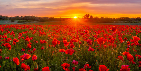 Photo sur Aluminium Poppy sunset over a meadow of blooming red poppies-panorama