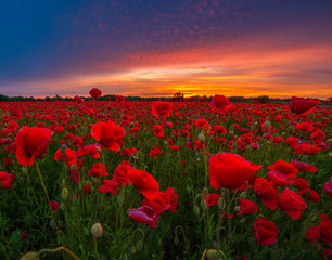 Poster Poppy panorama of a field of red poppies against the background of the evening sky