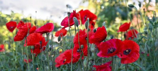 Flowers red poppies ( Papaver rhoeas, corn poppy, corn rose, field poppy, red weed, coquelicot )