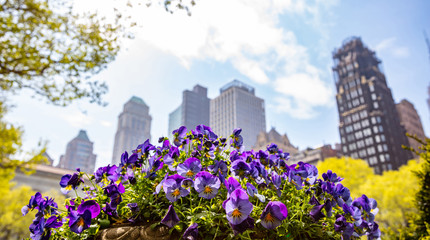 New York, Manhattan. High buildings and purple pansies against blue sky background, sunny day in spring