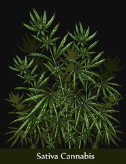 Sativa cannabis by hand drawing.Cannabis tree vector graphics design art highly detailed in line art style.