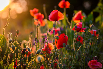 Field with flowering poppies. Beautiful summer landscape.