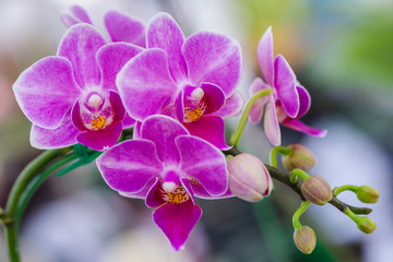 Obraz Orchid flower in orchid garden at winter or spring day for beauty and agriculture concept design. Phalaenopsis Orchidaceae. - fototapety do salonu
