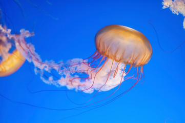 Orange jellyfish (Chrysaora fuscescens or Pacific sea nettle) in blue ocean water Wall mural