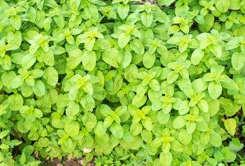 Cultivation of organic mint in a spring day