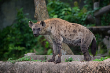 Poster Hyène Hyenas stand on the rock looking at the camera.
