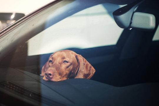 Sad dog left alone in locked car.