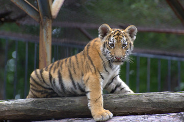 Beautiful little tiger cub stands on a log and looks