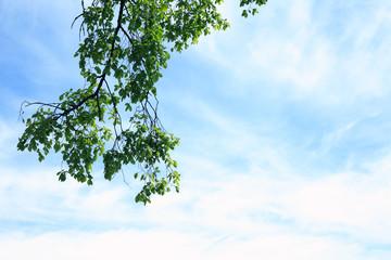 Green Leaves In Sky
