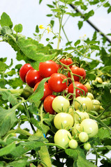 Tomatoes in own greenhouse, upright format