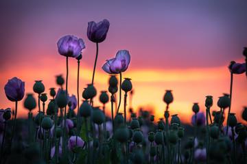 Lila Mohnblumen in weichem Abendlicht