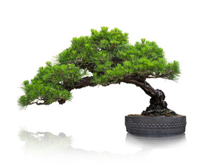 Aluminium Prints Bonsai 松の盆栽