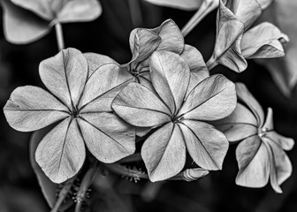 Fine art photography black and white of flower Plumbago auriculata