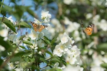 Two vanessa cardui butterflies feeding on jasmine blossom