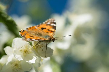 Vanessa cardui butterfly feeding on jasmine blossom - macro