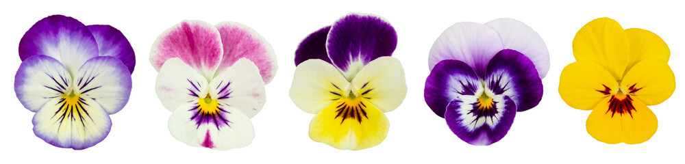 Photo sur Toile Pansies Set of pansies isolated on white background.