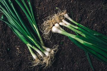 Spring onion or scallion on garden ground, top view