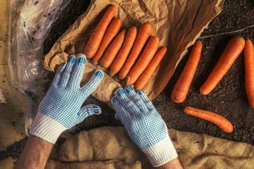 Farmer preparing organic homegrown carrots for farmer's market
