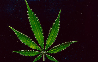 Illegal or legal, that's the global question. A Hemp leave (Cannabis sativa)