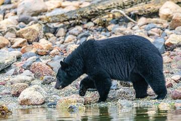 Black Bear (Ursus americanus) on the lake shore in British Columbia, Canada Wall mural