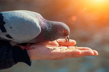 Woman feeding hungry pigeon with wheat grains in her hand