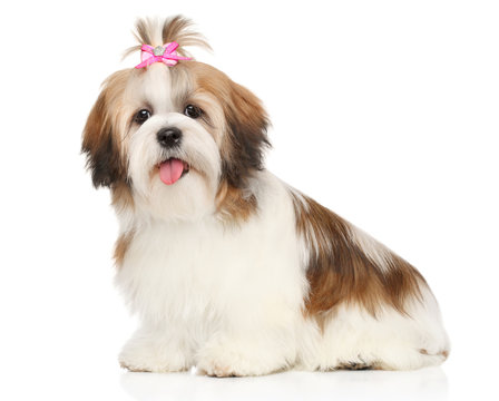Happy Shitzu dog puppy on a white background