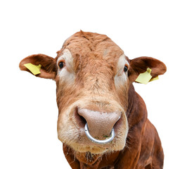 Bull portrait with nose ring isolated on white. Beautiful big brown bull close up. Farm animals. Beef cattle isolated on white.