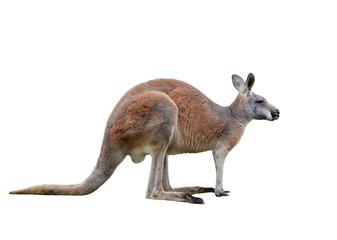 Photo sur Toile Kangaroo Male kangaroo isolated on white background. Big kangaroo full lengths, side view. The kangaroo preparing to jump