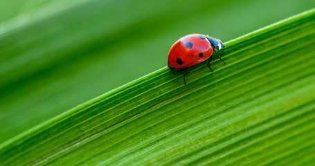 Macro Ladybug on green leaf