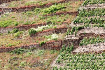 Weinberg am Hang der Mosel, die linke Seite brachgefallen, bei Valvig in Rheinland-Pfalz, Deutschland