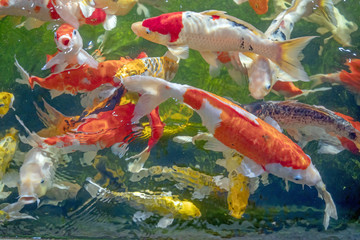 Colorful koi fish in a beautiful pool,Details of the fish in the pond,fancy carp pink and white with orange, the movement is always water, blurred, fancy carp,swimming underwater.shallow focus effect.