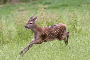 Red deer fawn running around in a meadow