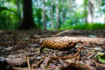 pinecone at forest ground