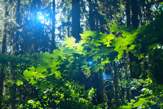 blue sunlight and green leaves in forest at summer