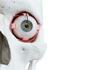 3d rendered medically accurate illustration of a human skull and eyes