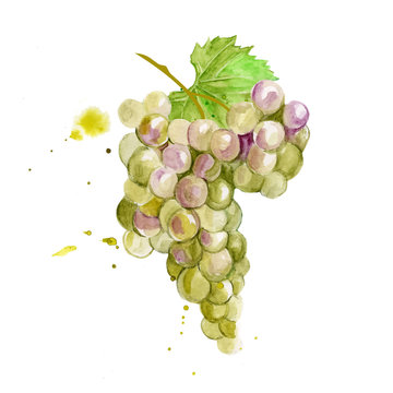 Colorful vector watercolor illustration of white green chardone grape with green leaves isolated on white background. Bunch of fresh grape.
