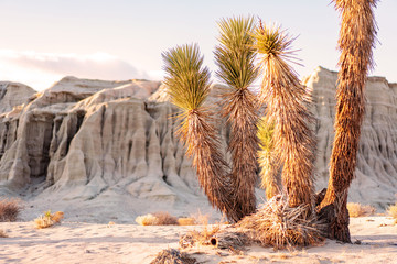 Wild desert nature landscape. Sunset light coming trough yucca trees and sandstone rocks on background.