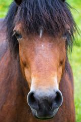 Porträt eines branuen Pferdes